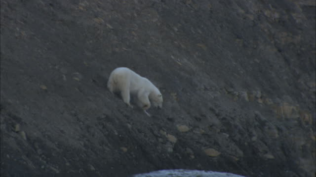 a polar bear clambers down a slope in svalbard, norway. - svalbard islands stock videos & royalty-free footage