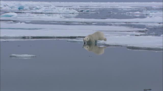 vídeos de stock e filmes b-roll de a polar bear clambers off an ice floe into the sea of svalbard, arctic norway. - clima polar