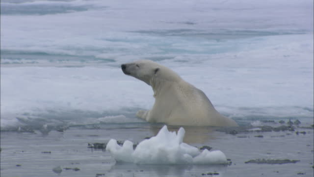 A polar bear clambers onto ice floes in Svalbard, Arctic Norway.