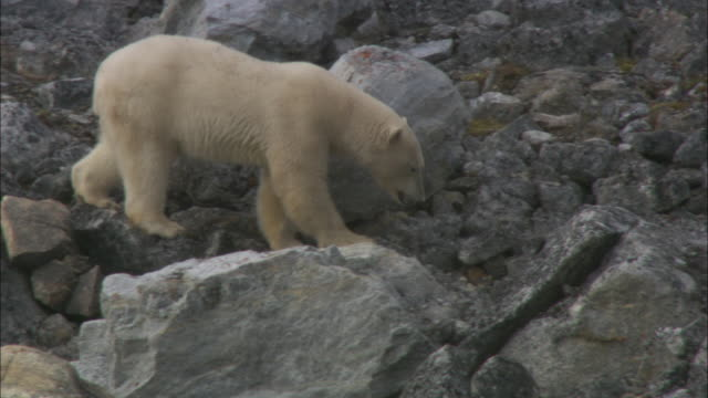 polar bear clambers over rocky coast, svalbard, arctic norway. - svalbard islands stock videos & royalty-free footage
