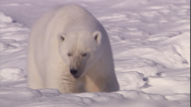 a polar bear clambers over wind-whipped snowdrifts in svalbard, norway. - eisbär stock-videos und b-roll-filmmaterial