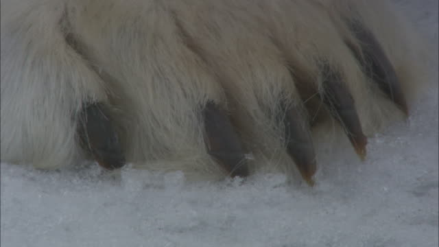 vídeos de stock, filmes e b-roll de polar bear claws and paw on sea ice, svalbard, arctic norway *please do not alter shot desc* - pata com garras