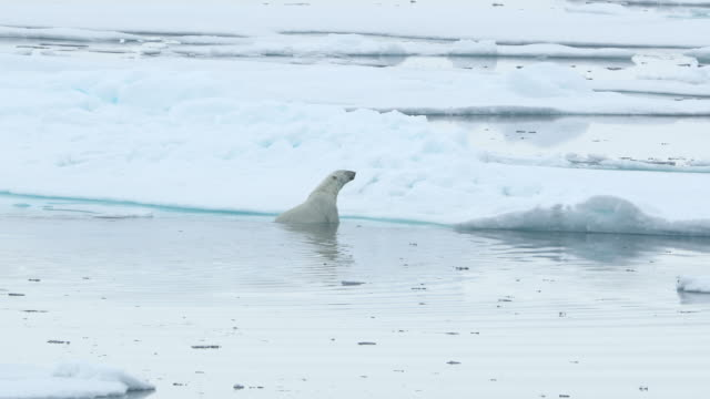 polar bear climbs out of ocean onto ice - threatened species stock videos & royalty-free footage