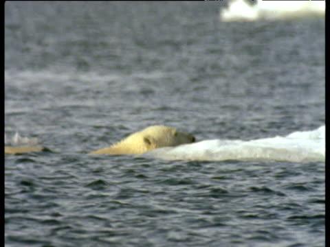 vídeos de stock e filmes b-roll de polar bear climbs out of water onto ice, shakes water off of coat and walks away, svalbard - clima polar