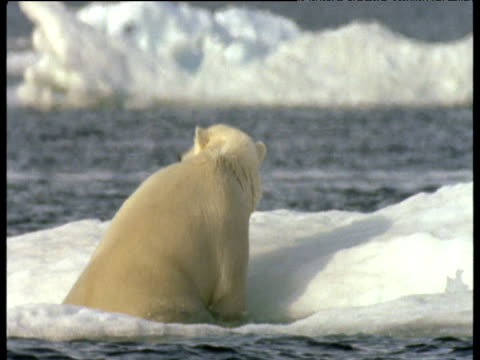 polar bear climbs out of water onto ice, shakes water out of coat then walks away, svalbard - recreational pursuit stock videos & royalty-free footage