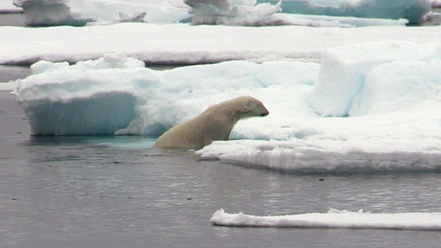 polar bear climbs out of water onto sea ice, svalbard, norway - animals in the wild stock videos & royalty-free footage