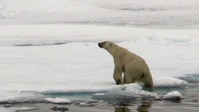 polar bear climbs out of water onto sea ice, svalbard, norway - ホッキョクグマ点の映像素材/bロール