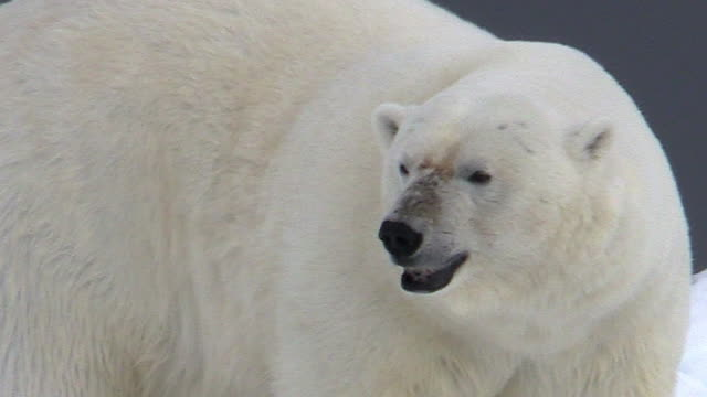 polar bear, closeup, svalbard, norway - クマ点の映像素材/bロール