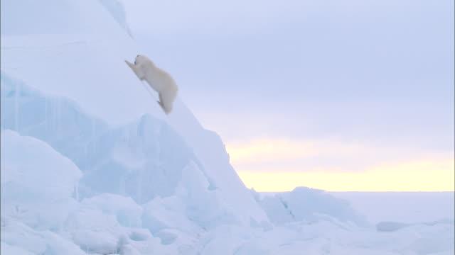 a polar bear crawling down on an ice wall in the north pole - nordpolen bildbanksvideor och videomaterial från bakom kulisserna