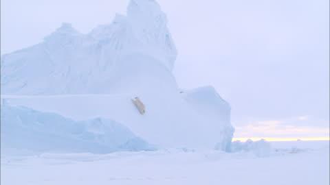 a polar bear crawling on an ice wall in the north pole - nordpolen bildbanksvideor och videomaterial från bakom kulisserna
