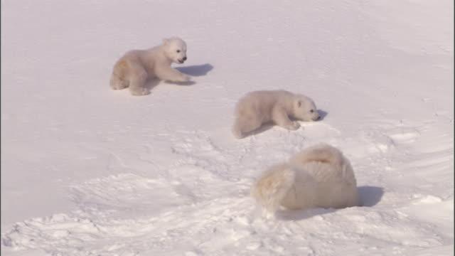 a polar bear crawls into her den as her cubs slowly follow. - burrow stock videos & royalty-free footage