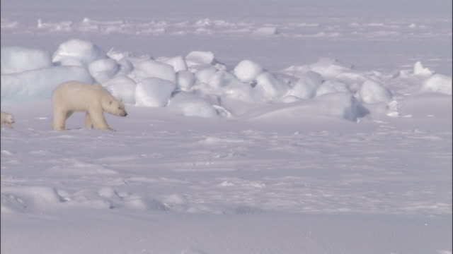 a polar bear crosses an ice sheet with her cubs in svalbard, norway. - ice sheet stock videos and b-roll footage