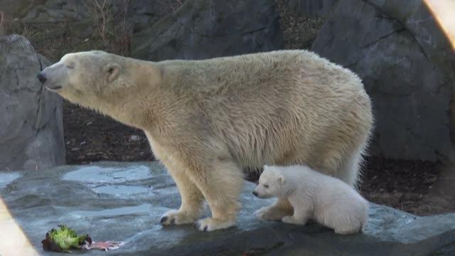 vídeos y material grabado en eventos de stock de polar bear cub at the vienna zoo takes its first tottering steps in the zoo's outdoor enclosure with its mother nora - clima polar