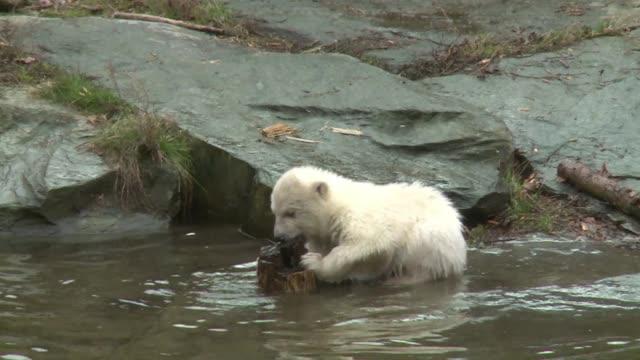 vídeos y material grabado en eventos de stock de polar bear cub born on december 1 2018 takes her first steps at the berlin zoological park - clima polar