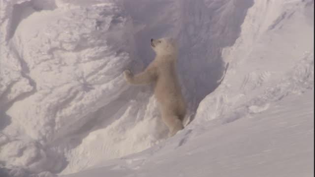 vídeos de stock e filmes b-roll de a polar bear cub clambers and slips on ice on svalbard, norway. - escorregadio