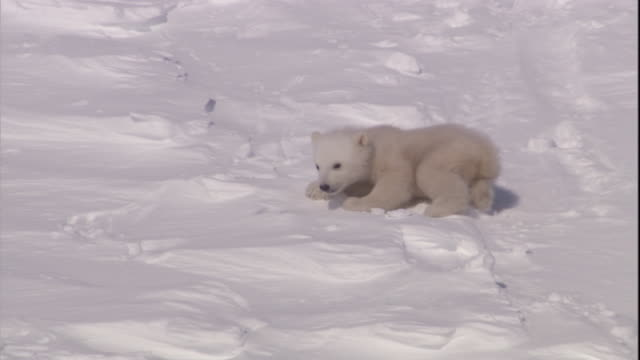 a polar bear cub clambers down a snowy slope on svalbard, norway. - hill stock videos & royalty-free footage
