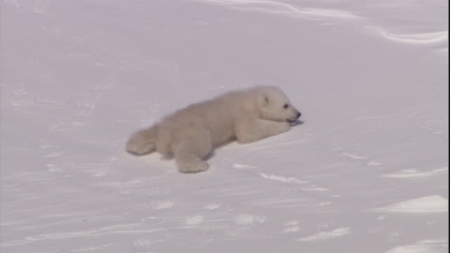 A polar bear cub clambers down a snowy slope on Svalbard, Norway.