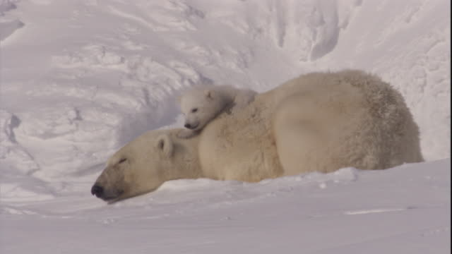 A polar bear cub clambers on its resting mother on Svalbard, Norway.
