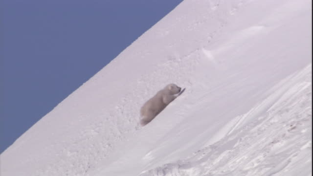 a polar bear cub clambers up a snow slope on svalbard, norway. - slippery stock videos & royalty-free footage