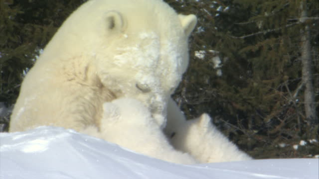 ms polar bear cub climbing on top of mother / wapusk national park, manitoba, canada - animal family stock videos and b-roll footage