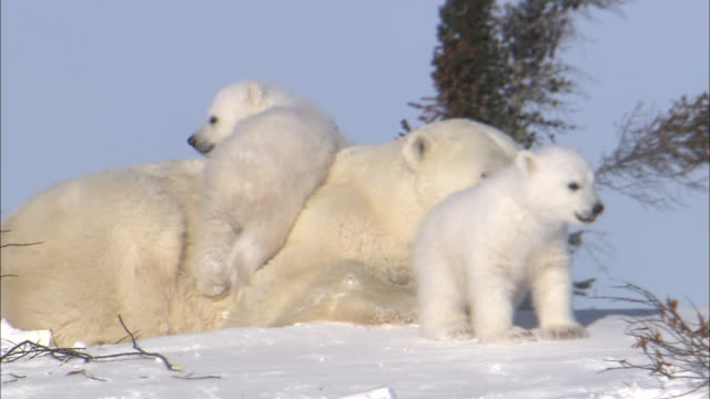 a polar bear cub climbs on its mother. - wildtier stock-videos und b-roll-filmmaterial