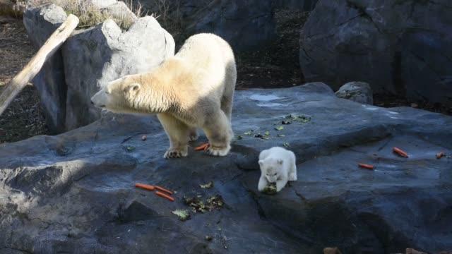 vídeos y material grabado en eventos de stock de polar bear cub is presented to the public for the first time at the schoenbrunn zoo in vienna, austria, on february 13, 2020. - clima polar