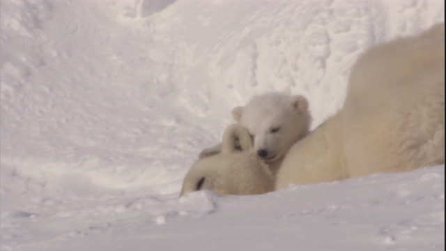 a polar bear cub nuzzles its resting mother on svalbard, norway. - 肉食哺乳動物の子点の映像素材/bロール