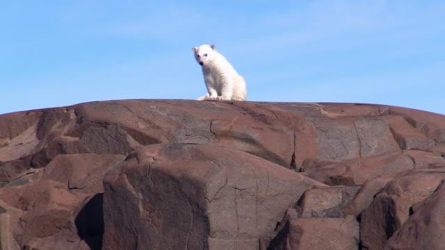 polar bear cub on top of rock, svalbard, norway - ホッキョクグマ点の映像素材/bロール