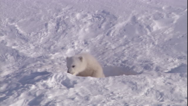 A polar bear cub peers around the entrance to its den on Svalbard, Norway.