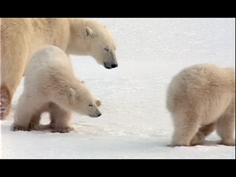 a polar bear cub picks up a frozen item as two other bears search for food in the snow. - 水の形態点の映像素材/bロール