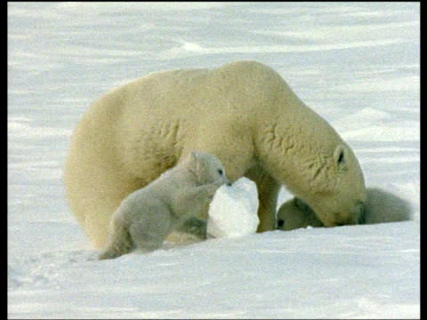 Polar bear cub playing with lump of ice watched by mother and sibling, Arctic