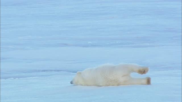 a polar bear cub rolls around on sea ice. - ホッキョクグマ点の映像素材/bロール
