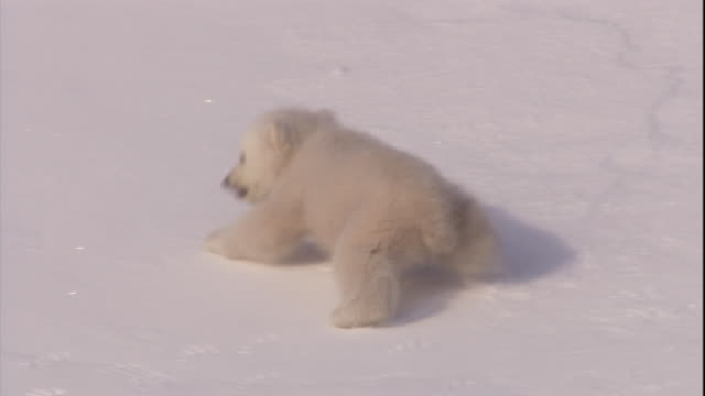 a polar bear cub scrabbles on the snow on svalbard, norway. - raubtier stock-videos und b-roll-filmmaterial