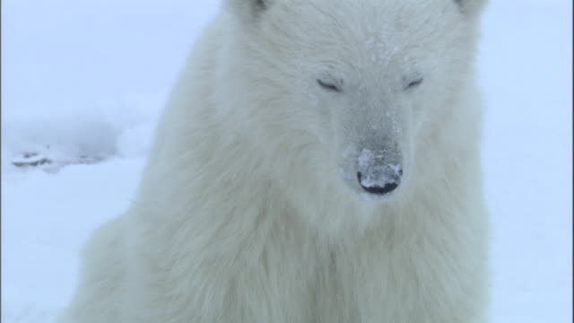 A polar bear cub sits in the snow in Churchill, Canada.