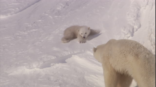 A polar bear cub slides down a snowy slope to its mother on Svalbard, Norway.