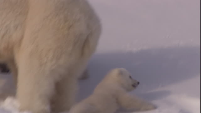 a polar bear cub slips on snow and slides past its mother on svalbard, norway. - raubtier stock-videos und b-roll-filmmaterial