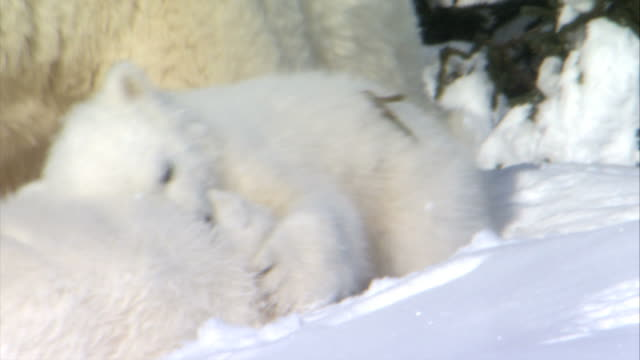 MS Polar bear cub snuggling against mother while another cub pawing face / Wapusk National Park, Manitoba, Canada