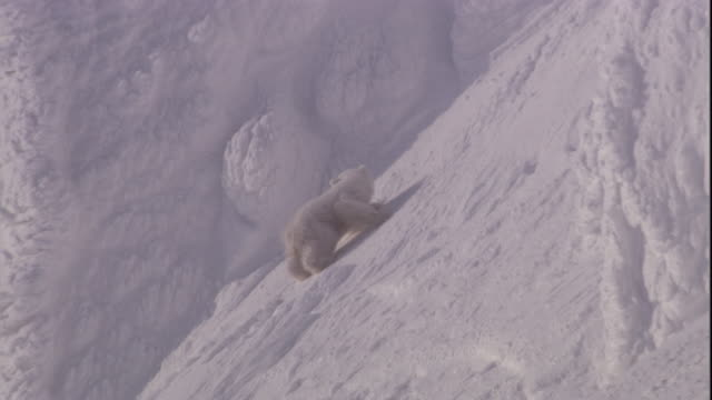 a polar bear cub tries to climb a snowy slope and slips, svalbard, norway. - 肉食哺乳動物の子点の映像素材/bロール