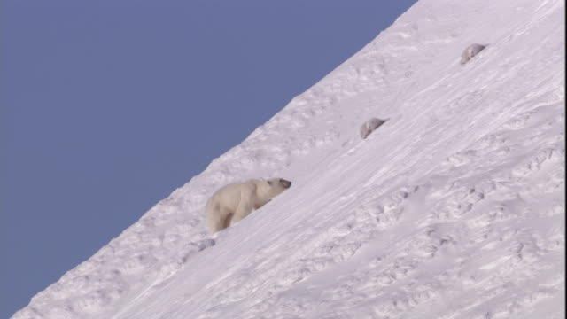 polar bear cubs clamber down to their mother on a snowy slope on svalbard, norway. - bear cub stock videos and b-roll footage