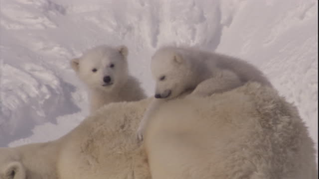 Polar bear cubs climb on their resting mother on Svalbard, Norway.