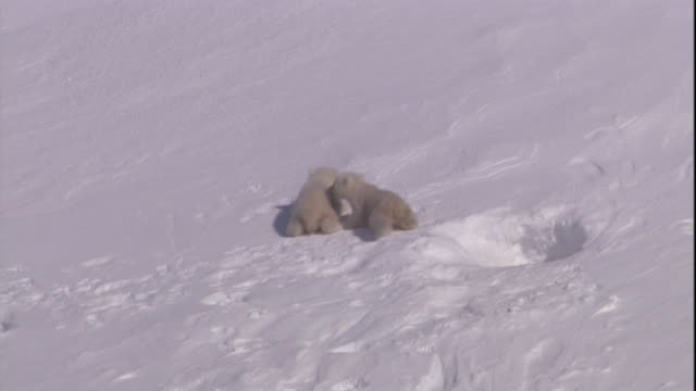 vídeos de stock, filmes e b-roll de polar bear cubs emerge from a den on svalbard, norway. - buraco
