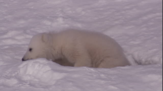 Polar bear cubs emerge from their den on Svalbard, Norway.