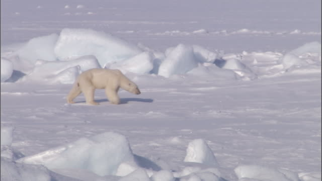 polar bear cubs follow their mother across an ice sheet in svalbard, norway. - ice sheet stock videos and b-roll footage