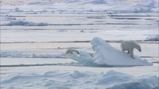 polar bear cubs follow their mother over sea ice in svalbard, arctic norway. - polar bear stock videos and b-roll footage