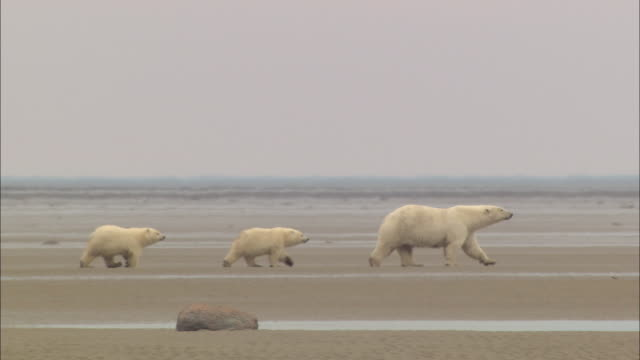 Polar bear cubs following their mom on the mud in the North Pole