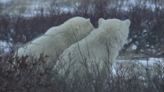 polar bear cubs look around as they sit on the tundra. - 肉食哺乳動物の子点の映像素材/bロール