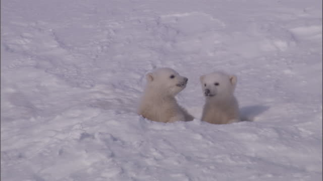 polar bear cubs peer out of their den on svalbard, norway. - raubtier stock-videos und b-roll-filmmaterial