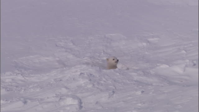 polar bear cubs peer out of their den on svalbard, norway. - höhle stock-videos und b-roll-filmmaterial