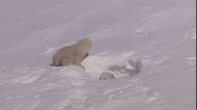 Polar bear cubs play at the entrance to their den on Svalbard, Norway.