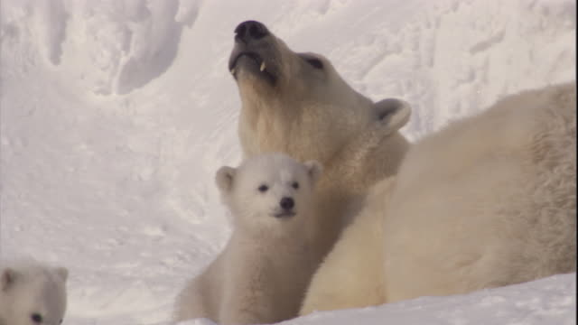 polar bear cubs rest on the snow with their mother on svalbard, norway. - bärenjunges stock-videos und b-roll-filmmaterial